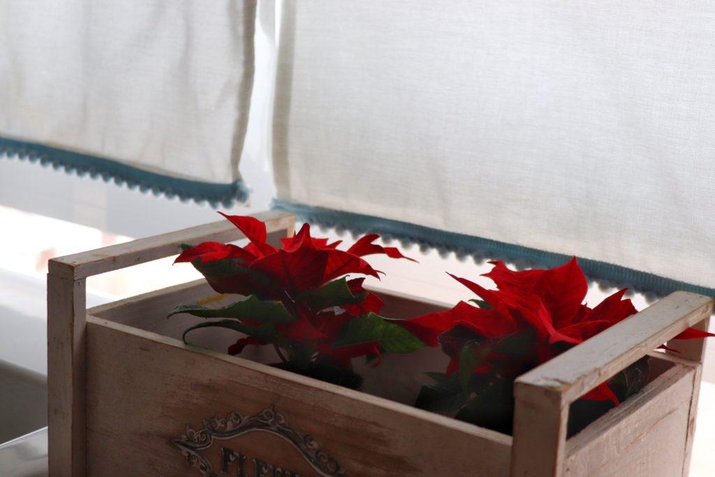 flor de pascua amacrema